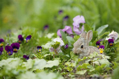 rabbit repellent for vegetable gardens best rabbit repellent growing together with don kinzler