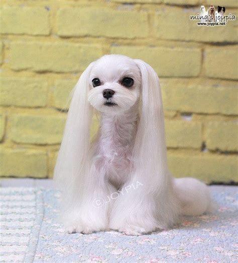 picture of maltese grooming styles korean dog grooming style maltezer groomiing
