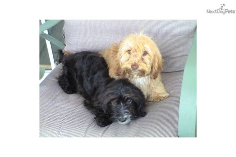 doxiepoo puppies dachshund mini puppy for sale near greenville upstate south carolina 9cad6c83 0d21