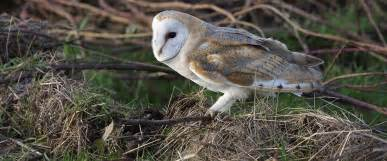 what is the barn owls scientific name the rspb barn owl