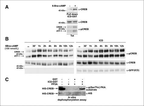 cd proteolysis increases creb phosphorylation
