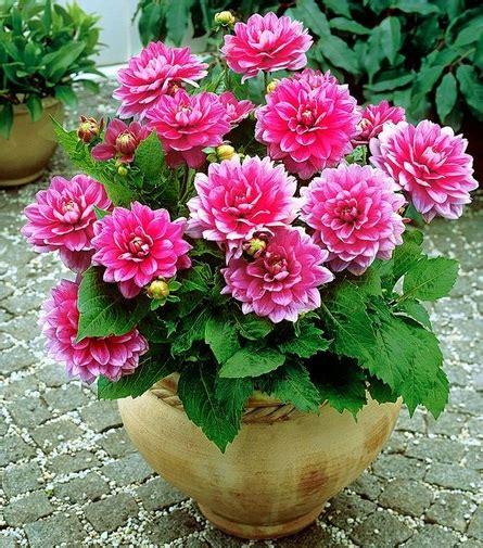contoh deskripsi tentang bunga dahlia  bahasa inggris