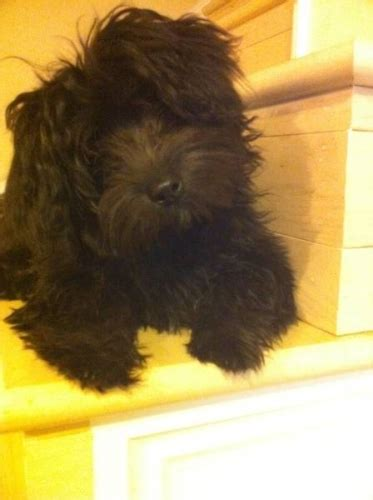 yorkie poodle mix price yorkie poodle mix breed puppy for sale in thorold ontario pets in canada