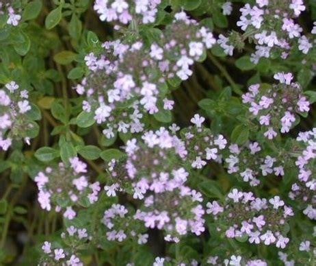 Bibit Tanaman Strawberry Earlybrite bibit benih lemon thyme jual tanaman hias