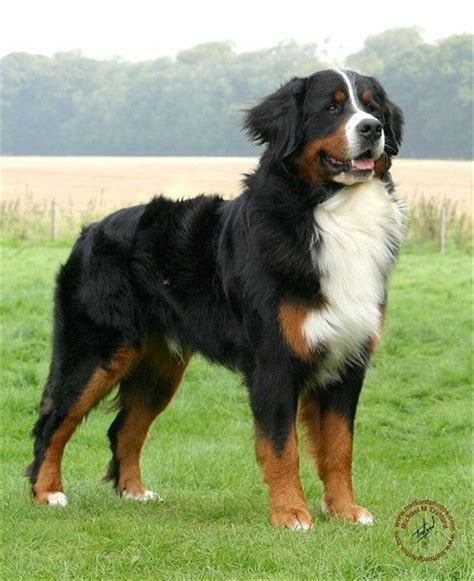 pictures of bernese mountain dogs bernese mountain breed fallinpets