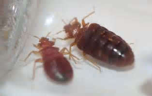 5 steps to check your hotel for bed bugs green pest