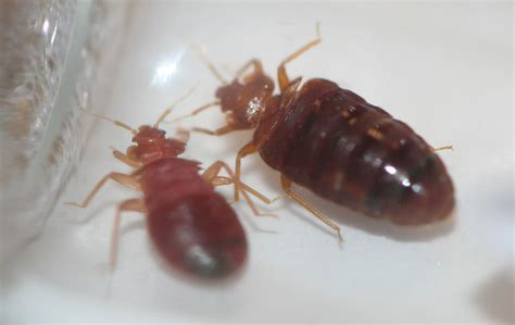 bed bug photo bed bug identification bed bug pictures rose pest control