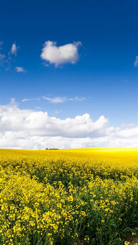 wallpaper rapeseed fields sunny day summer landscape