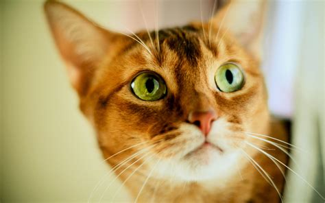 Cat Eye Original Orange orange cat green wallpaper animals wallpaper better