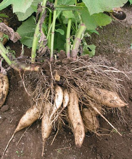 yacon root vegetable yacon quot peruvian ground apple quot buy at s annuals