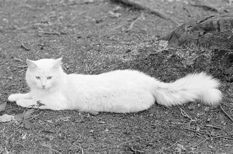 fotos de gatos gatos angora gemelos jpg pictures to pin on pinterest c 243 mo identificar un gato de angora gatos angora y gato