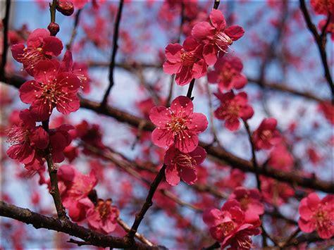 plum blossom tree new year crossfire 350162 1 595316 jpg