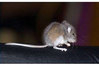 how to get rid of basement mice home places and house mouse