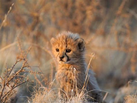 webshots cats a young cheetah in evening light namibia webshots