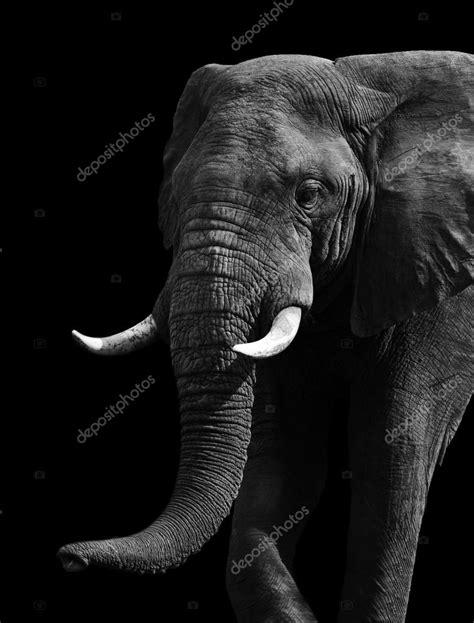 imagenes en blanco y negro para estar art 237 stica elefante blanco y negro foto de stock