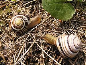 helicid snails ii helicinae