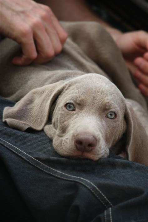 puppy week at home 186 best images about pets weimaraner on beautiful dogs puppys and