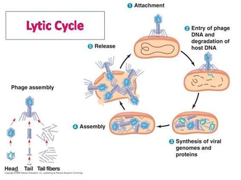 lytic cycle diagram 195 best images about microbiology on stains
