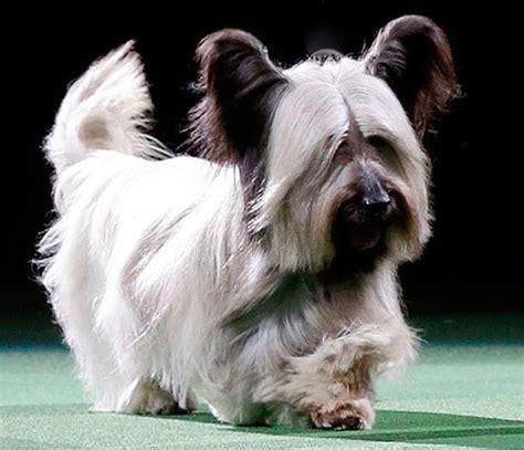 skye terrier summer groom skye terrier short hairstyles skye terrier dog breed