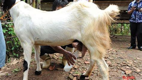 harga lebih mahal  susu sapi bisnis susu kambing