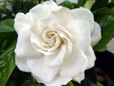 Gardenia In Age Management Series 4 Gardenia Stem Cells For