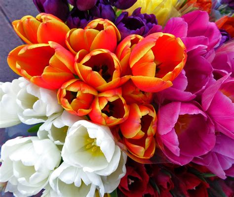 Benihbijibibit Bunga Tulip Blanc images gratuites blanc fleur p 233 tale orange flore tulipes fleuriste fleurs de