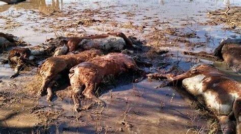 imagenes animales muertos ya son 100 mil los animales muertos en corrientes