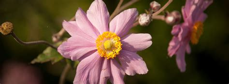 popular flowers for gardens popular pink flowers for your garden blooms today