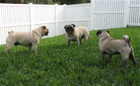 why do pugs why do you pugs the pug