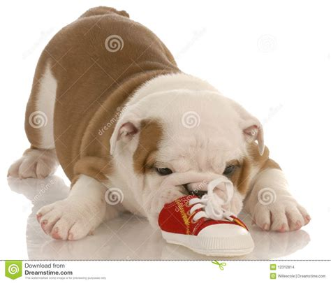 puppy biting paws bulldog puppy chewing on shoe stock images image 12312814