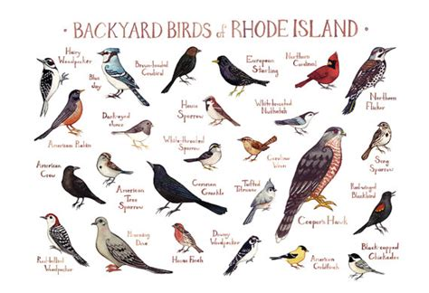 rhode island backyard birds field guide art print watercolor