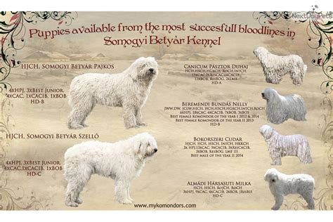 komondor puppies for sale near me abig 233 l komondor puppy for sale near budapest hungary 5b977243 24b1