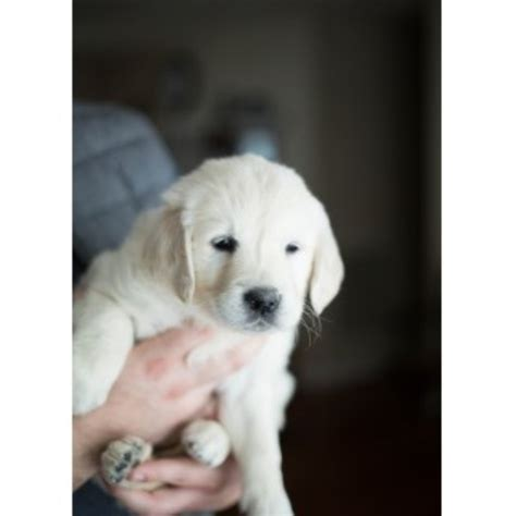 golden retriever breeders tn cold mountain retrievers golden retriever breeder in chuckey tennessee