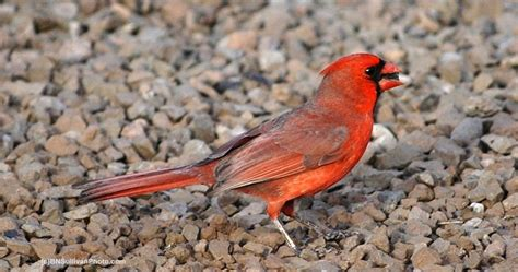 b n sullivan photography mr cardinal found a sunflower seed