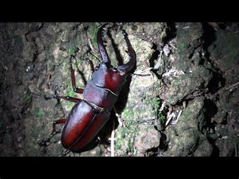 Why Kumbang Kumbang Rusa 4k クワガタ採集2015 7 27 ノコギリクワガタ4匹 スジクワガタ コクワガタ kumbang rusa di jepang