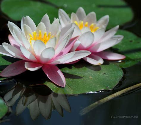ninfee fiori 1080 x 960 ninfee sfondi fiori immagini di sfondo 1080x960