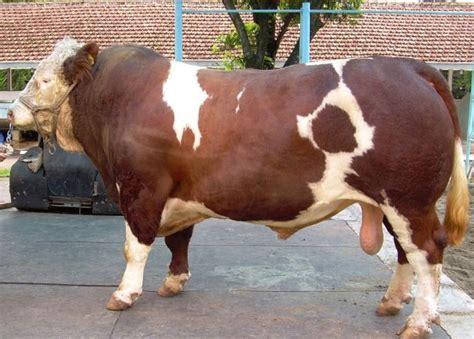 tips bisnis ternak sapi untuk pemula