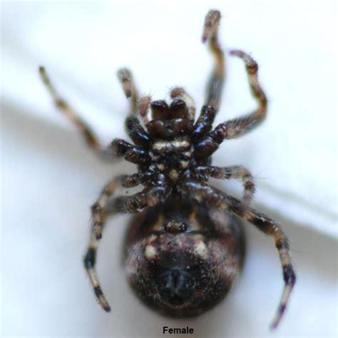 Garden Spider Toxicity The Find A Spider Guide Cyclosa Vallata