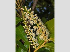 Prunus laurocerasus - Wikipedia Habitat