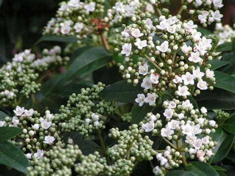 Large Pink Flowering Shrub - viburnums are an essential plant for the winter garden hayes garden world