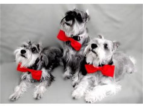 miniature schnauzer puppies for sale in ky miniature schnauzer puppies for sale