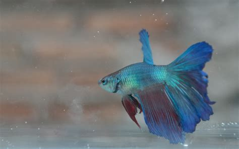 cara menghasilkan warna ungu pada ikan cupang cara praktis budidaya ikan cupang alam tani