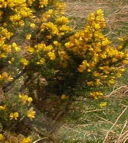 Surrounded By Gorse by Gorse Is Ideal For A Wonderful Summer Cordial And