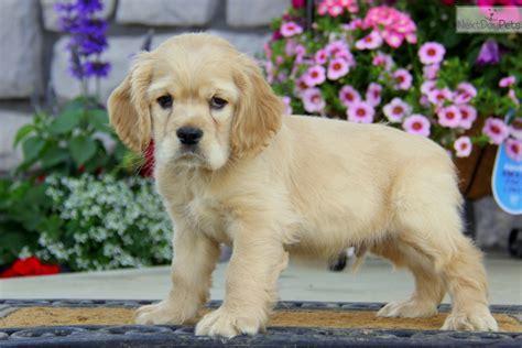 cocker spaniel puppies for sale near me cocker spaniel puppy for sale near lancaster pennsylvania 2c0146d7 14c1