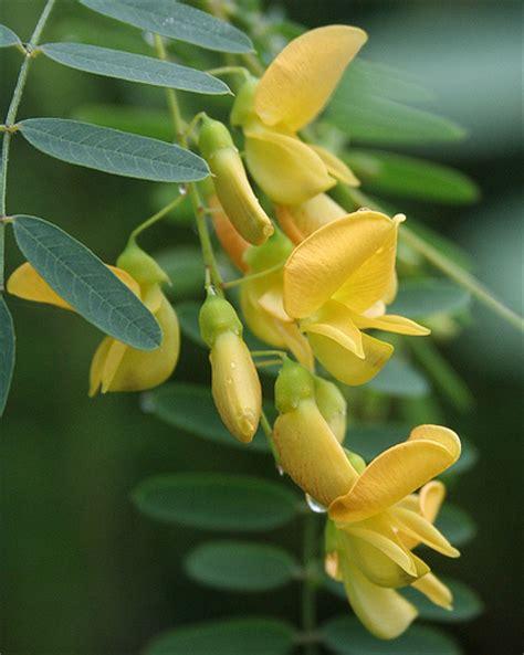 Melva Yellow poisonbean rattlebush rattlebox sesbania drummondii flickr photo
