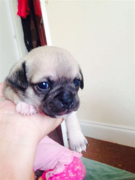 chug puppies for sale chug puppies for sale brighton east sussex pets4homes