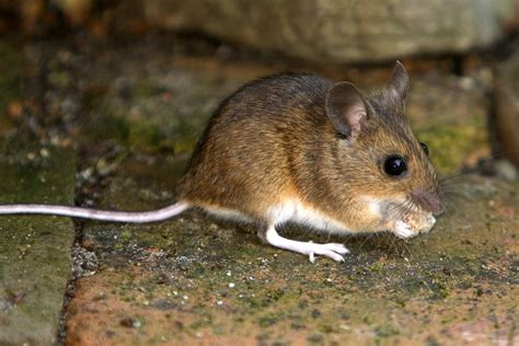house mouse about mice winchester pest control