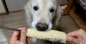 coco dog coco the dog neatly nibbles up corn on the cob daily