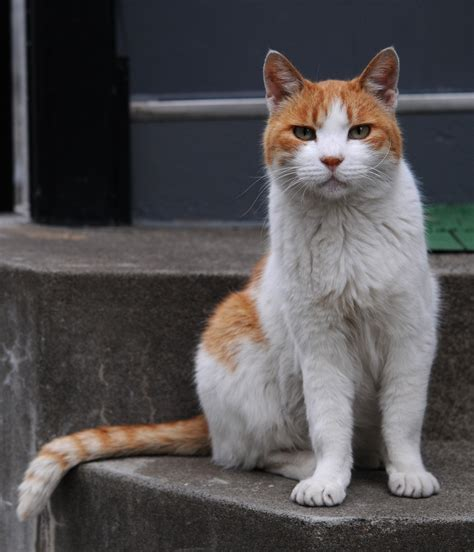 File:Orange and white tabby cat with the impressive tail