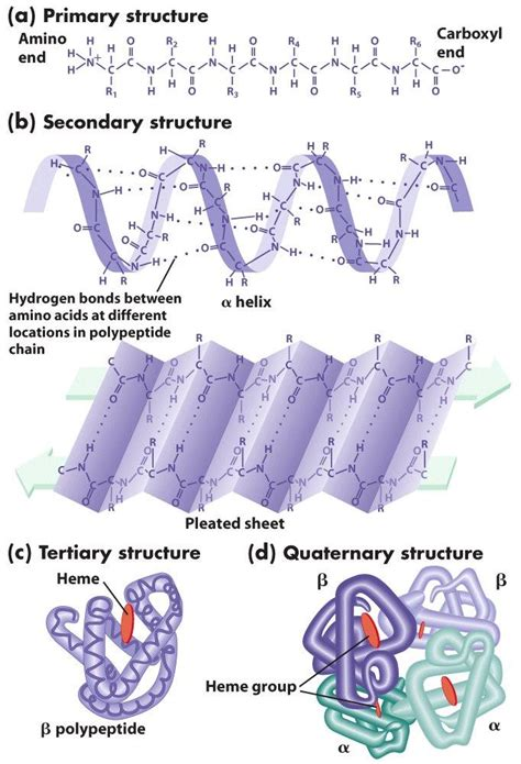 protein levels amino acids and protein the biochemgazette